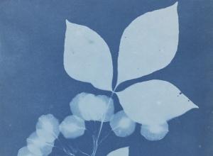 Ptelea trifoliate (Wafer Ash)