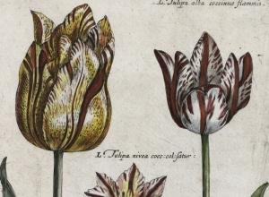 Tulipa Honesti,Tulipa nivea, Tulipa alba (Broad-leaved Tulips), plate 31 from Hortus Floridus (Utrecht, 1614