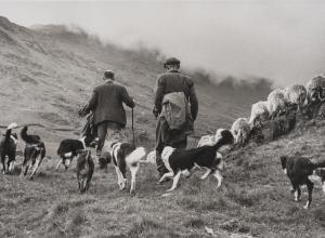 Sheep Shearing, Wales, 2017.9.15