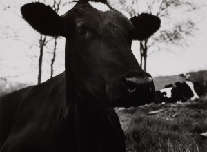 The Face of a Dark Cow Lying Down, Hyrkin Farm