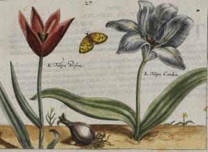 Tulipa Persica, Tulipa Candia (Early Persian Tulip, Cretan Tulip), plate 27 from the Hortus  Floridus (Utrecht, 1614)