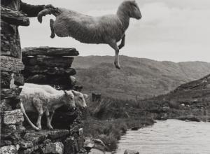 Sheep Shearing, Wales, 2017.9.16