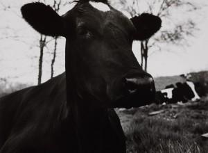 The Face of a Dark Cow Lying Down, Hyrkin Farm